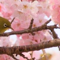 桜にメジロに
