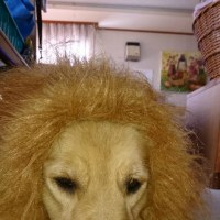 血統証付の Happyライオン お似合いだから ポッチお願い
