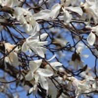 埼玉県所沢市並木近くにある雑木林では、コブシの木が花をよく咲かせています