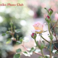 グリーンパークの薔薇 6