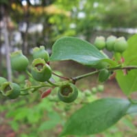 小さなブルーベリーの木