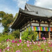 般若寺のコスモスは満開に・・(^◇^)
