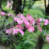 「花みずき」も開花。