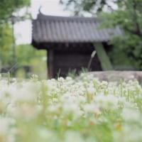 シロツメクサ:岡山城にて