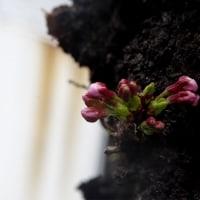 2017年3月21日の隅田川の桜