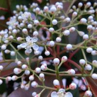 化学構造式を思わせる美しい花は・・・カナメモチでした