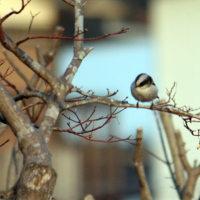 エナガ10羽程の小群が初めて我が家の庭で小時休んでくれました