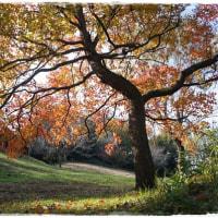 白柴 小太郎と晩秋の公園を紅葉狩り