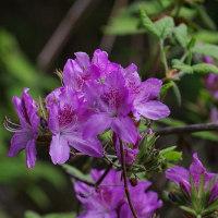 モチツツジの花、栃の木の花。きょうの一句「花の雨」