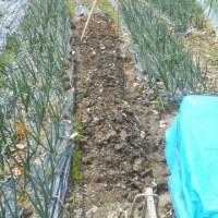 畑にサラダ菜・うまい菜を植える畝を準備しました