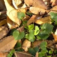 タチツボスミレの株が枯れ葉に包まれて