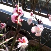 今年も梅の花が咲きました