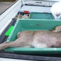 11月17日有害鳥獣捕獲「鹿」