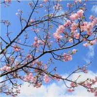 匂いスミレ・カワズ桜。         17・2月21日