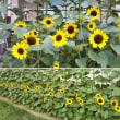 向日葵と庭の野菜