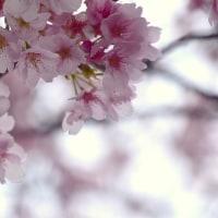 桜の開花もうすぐの元荒川