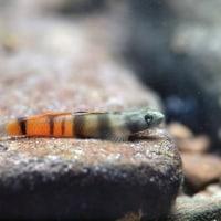 アカボウズハゼ Sicyopus zosterophorum (Bleeker,1857) 西表島(2013/10/12) No.11