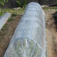 保温栽培ビニールトンネル敷設。