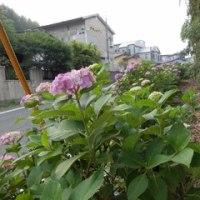 梅雨の花満開の「紫陽花」を眺めながらの朝の散歩