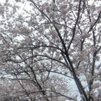 やっと桜が満開になりました!!