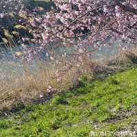 青毛堀川の桜を愛でた帰路