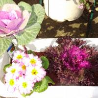 我が家と実家の花ーーー山茶花、バラ、葉ボタン