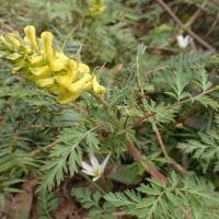 佐渡の花:石花登山道の平城畑までの道:ミヤマキケマンがところどころに咲いていました。