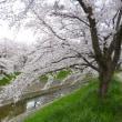 佐保川の桜、満開