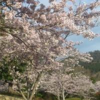 和むはずの桜がイライラする~の話