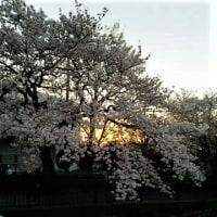 夜明けに桜燃ゆるよう