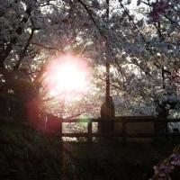 桜太陽(さくらまつり2017)