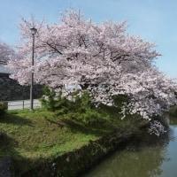 【ポケカル九州開設記念】博多発!小倉発!九州の小京都・秋月の桜のトンネル散策と
