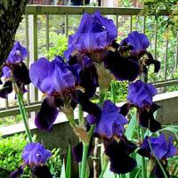 ジャーマンアイリスという花
