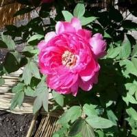 花~上野牡丹苑
