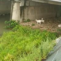 菜園の収穫物の手入れ。大川のヤギ達。