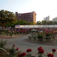 第50回福山ばら祭前日(ばら公園の様子)
