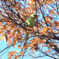 枯葉の中では、見つけるのが難しいワカケホンセイインコ。