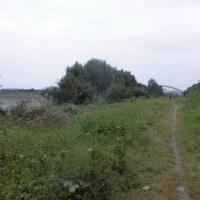多摩川 水辺に集まるカラス