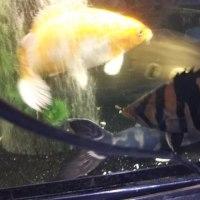 【魚】 ダトニオ+1