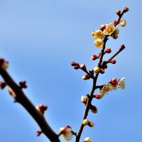 エー 小梅の花が咲いている! 家庭園芸・今年の初仕事 梅の木を3本剪定