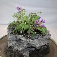 「おはようの花」 濃色レブン草