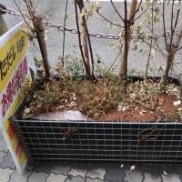 ●6/13 環境の緑化と美化報告 花壇に花植え