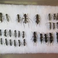 ついでに採れた甲虫類