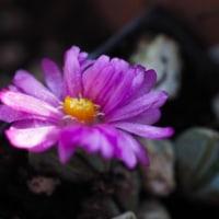 碧魚連のお花
