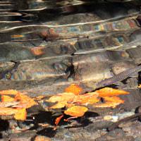 デコ平の岩魚
