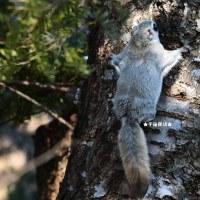 野生動物観察 エゾモモンガ