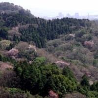 イヤガ谷東尾根 山桜、三つ葉躑躅