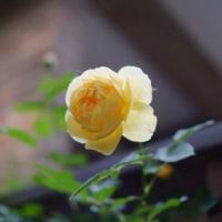 高原は薔薇の季節3