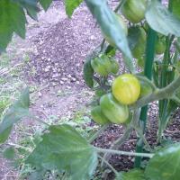 トマトが色づいた
