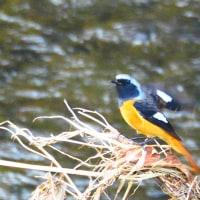 『花水の野鳥』 ジョウビタキ